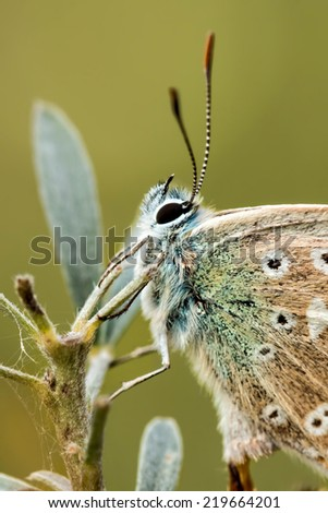 Close up of a beautiful butterfly(Common Blue,Polyommatus icarus)  - stock photo