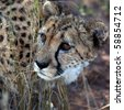 close-up of a beautiful cheetah - stock photo