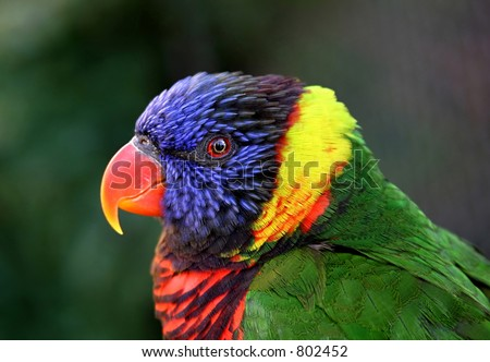 Close up of a beautiful colorful parrot staring straight at camera with wide eye