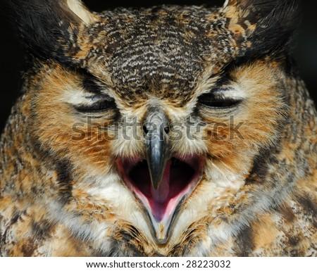 close-up of a beautiful Eagle Owl (bubo bubo) - stock photo