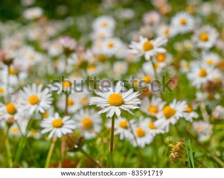 Close up of a beautiful field of daisy - stock photo