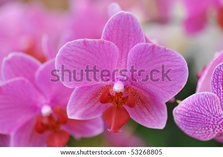 close-up of a beautiful flower of phalaenopsis
