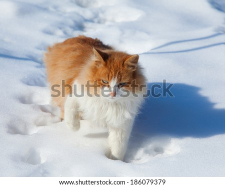 close-up of a beautiful fluffy ginger cat with white breast on fresh snow on a sunny winter day