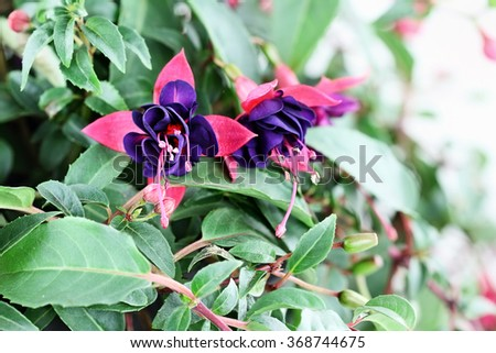 Close up of a beautiful Fuchsia plant. Selective focus with extreme shallow depth of field.   - stock photo