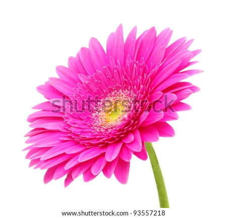 close up of a beautiful gerbera flower - stock photo