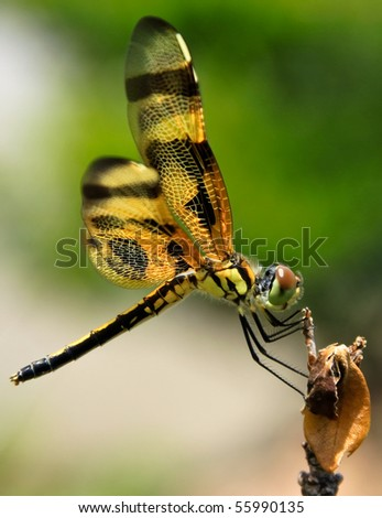 close up of a beautiful golden dragonfly