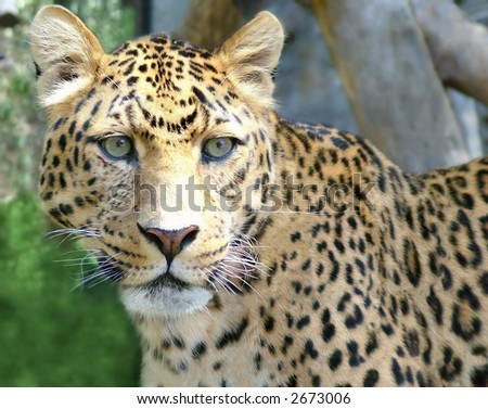 Close up of a beautiful leopard