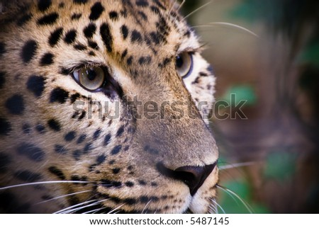 close-up of a beautiful leopard - stock photo