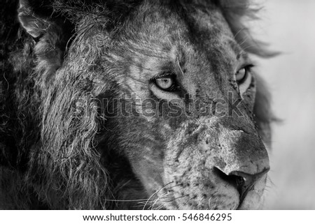 Close up of a beautiful Lion in Masai Mara
