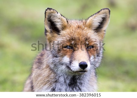 Close Up of a Beautiful Old Red Fox Vixen with a Sweet Face Against a Green Natural Background - stock photo