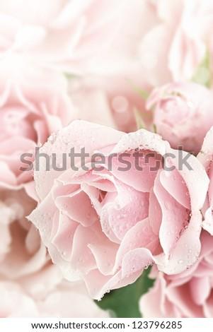 Close up of a beautiful pink tea rose. Shallow depth of field. - stock photo