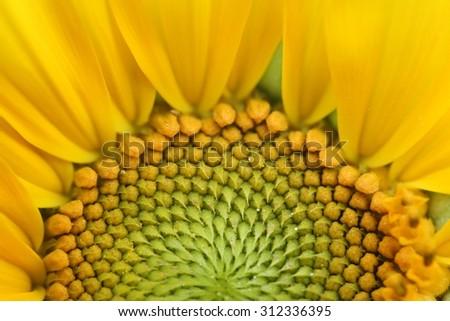 close-up of a beautiful sunflower - stock photo