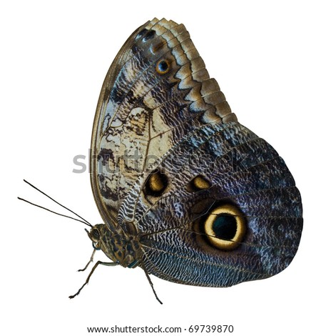 Close-up of a beautiful tropical Owl Butterfly (Caligo Memnon) in delicate shades of blue and cream, with the characteristic eye spot on its lower wing. Isolated on white with clipping path. - stock photo