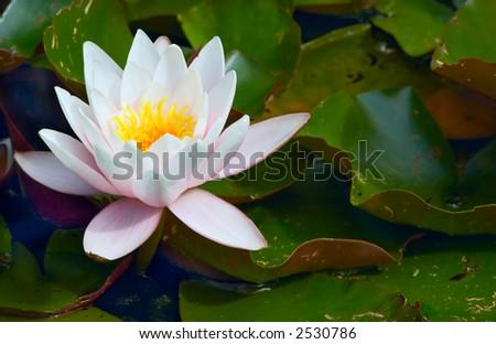 close-up of a beautiful waterlily - stock photo