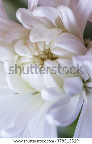 close up of a beautiful white Chrysanthemum with delicate soft petals and a yellow center - stock photo
