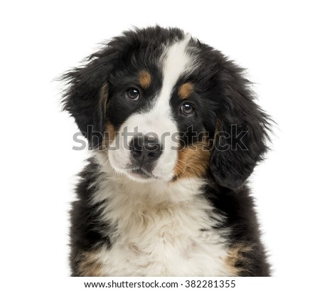 Close-up of a Bernese Mountain Dog puppy in front of a white background