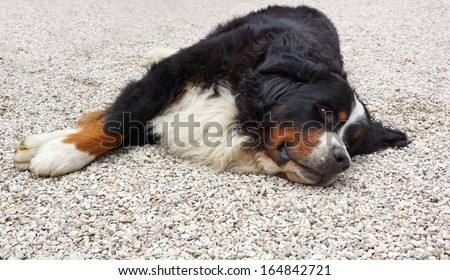 Close up of a Bernese Mountain dog resting on the gravel driveway