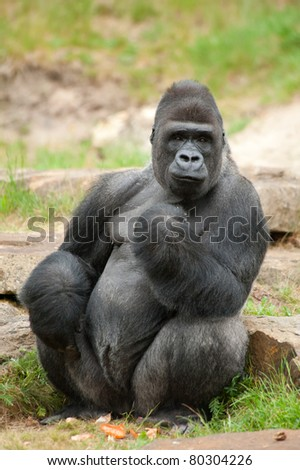 Close-up of a big male silverback gorilla - stock photo
