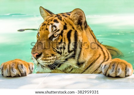 Close up of a big tiger in the water in Thailand, Asia. Side view. - stock photo