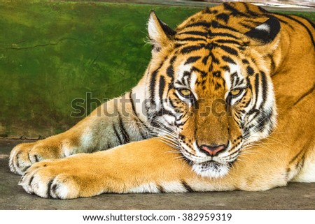 Close up of a big tiger outdoor in Thailand, Asia. - stock photo