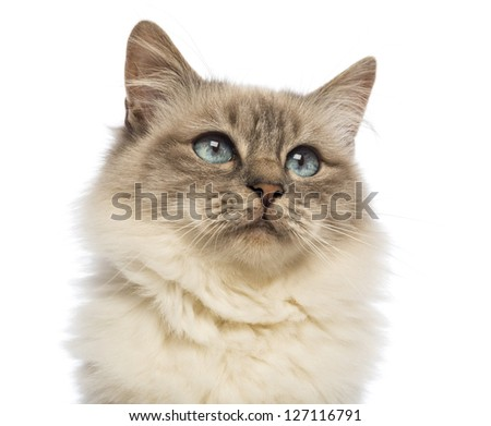 Close-up of a Birman looking up against white background - stock photo