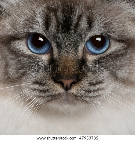 close up of a Birman (8 months old) - stock photo