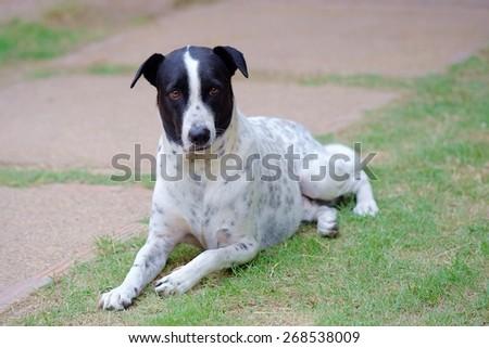 close up of a black and white dalmatian dog no purebred - stock photo