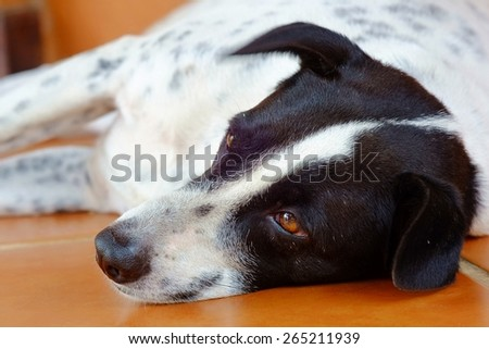 close up of a black and white dalmatian dog no purebred laying on the  brown floor.