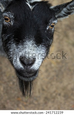 Close up of a black and white goat's face looking up - stock photo