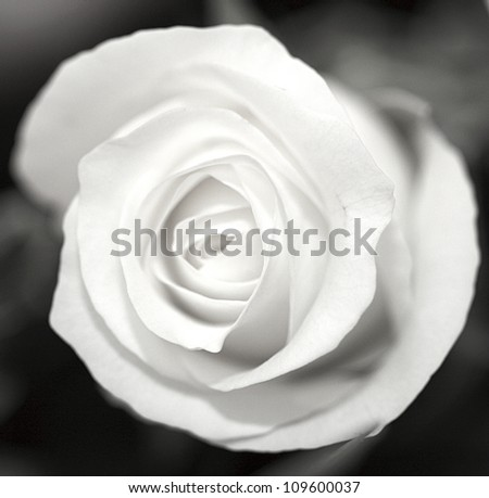 Close up of a black and white rose