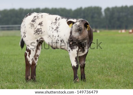 Close up of a black and white spotted calf  in Dutch meadow landscape - stock photo