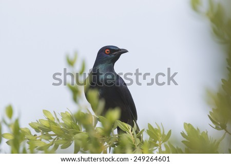 Close-up of a Black-bellied Glossy Starling (Notopholia corrusca), a spectacular colored bird, perched in a tree - stock photo