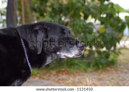 Close up of a Black Labrador - stock photo