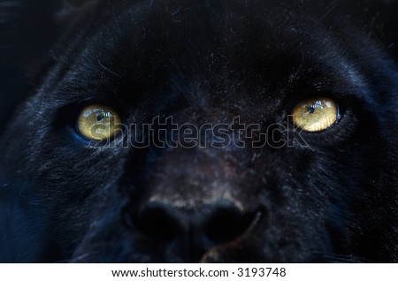 close-up of a black panther - stock photo