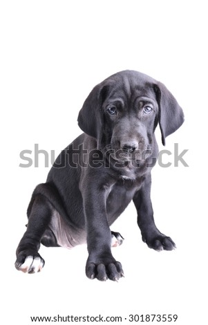 Close up of a black pup sitting down isolated on a white background - stock photo