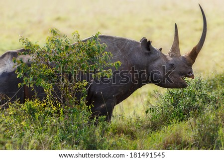 Close up of a Black Rhino with big horns that just eats branches in Masai Mara, Kenya - stock photo