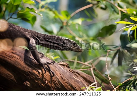 Close up of a black tree monitor. Black tree monitors live in moist forests and mangroves on Aru Island, Papua New Guinea. The black tree monitor grows to be 3 to 4 feet long. - stock photo