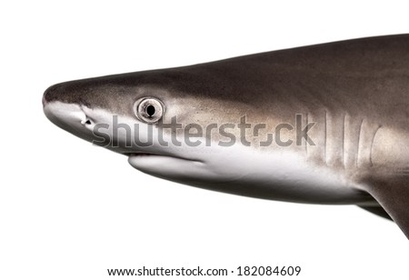 Close-up of a Blacktip reef shark's profile, Carcharhinus melanopterus, isolated on white - stock photo