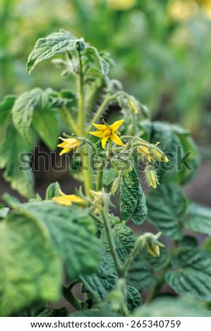 close-up of a blooming tomato plant in the vegetable garden - stock photo