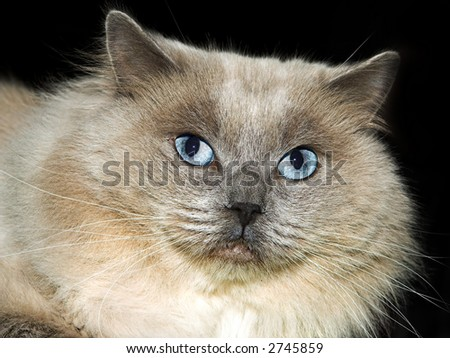 Close-up of a blue-eyed cat