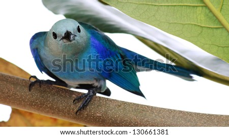 Close-up of a Blue-grey Tanager (Thraupis episcopus) - stock photo