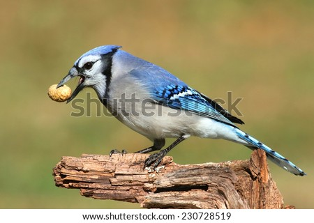 Close-up of a Blue Jay (corvid cyanocitta) eating peanuts with a green background - stock photo