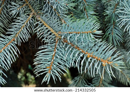 Close up of a blue spruce tree. - stock photo