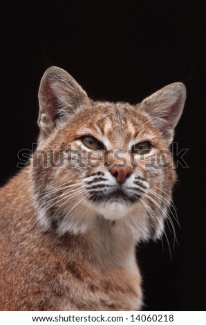 Close-up  of a bobcat. - stock photo