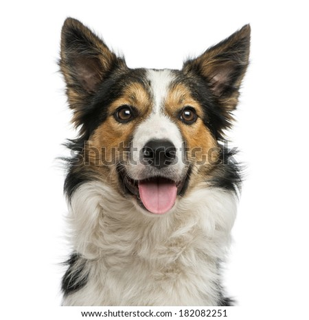 Close-up of a Border collie panting, facing, isolated on white - stock photo
