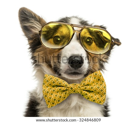 Close-up of a Border collie with old fashioned glasses and a bow tie, isolated on white - stock photo