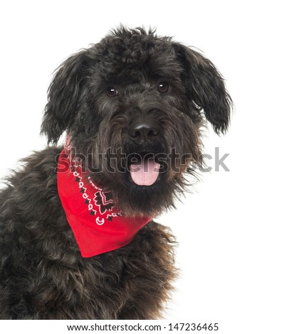 Close up of a Bouvier des Flandres, panting, with read bandana , isolated on white - stock photo