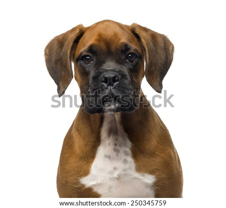 Close-up of a Boxer puppy (3 months old) - stock photo