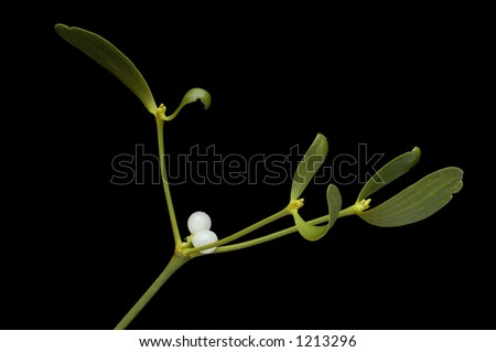 Close-up of a branch of mistletoe (Viscum album) with berries, isolated on a black background - stock photo