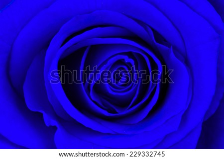 Close-up of a bright blue rose, isolated - stock photo